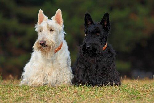 Quattro razze canine di origine scozzese