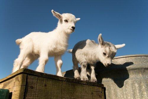 Capre pigmee il nanismo nel regno animale