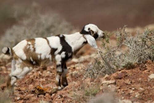 Le capre di Fuerteventura: scopriamole insieme
