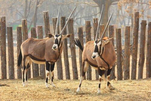 Caratteristiche dell'antilope tibetana