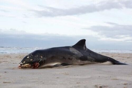 Perché le carcasse delle balene morte esplodono?