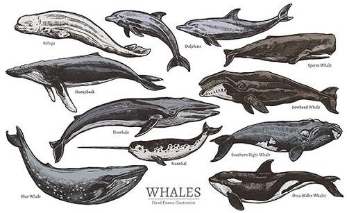 Come vengono classificati i cetacei?