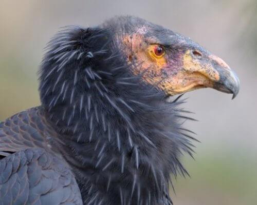 Il condor della California: lo spazzino della natura
