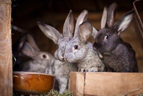 Conigli che mangiano