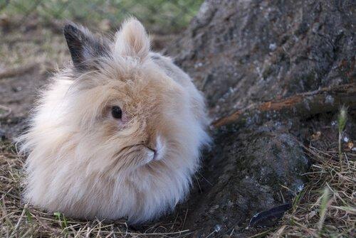 Coniglio nano d'Angora all'aperto