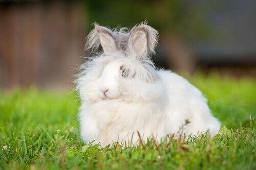 Coniglio d'Angora nano nel prato