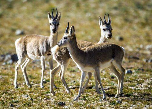 Cuccioli di antilope tibetana