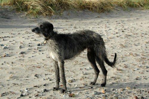 Deerhound tra razze canine di origine scozzese