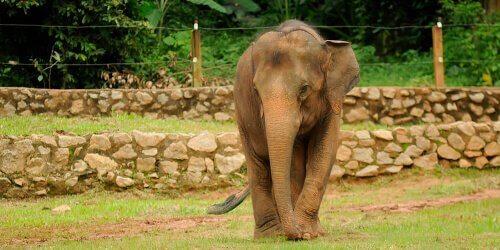 Elefante pigmeo del Borneo
