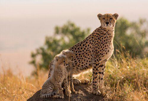 Famiglia di ghepardi