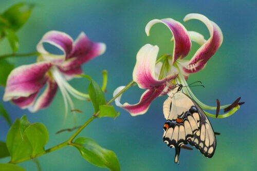Farfalla coda forcuta gigante posata su fiore