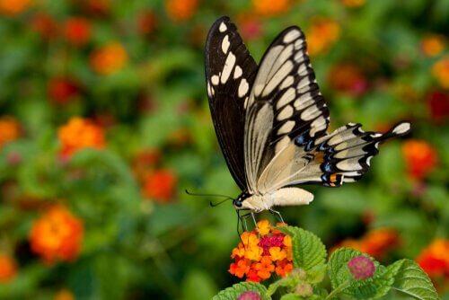 La farfalla coda forcuta gigante: una specie esotica