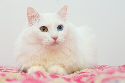 Gatto d'Angora con occhi di colore diverso