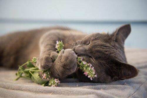 Erba gatta: cos'è e perché fa impazzire i gatti?