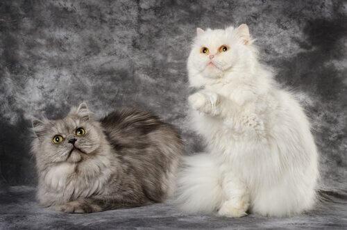 Gatto persiano e d'Angora
