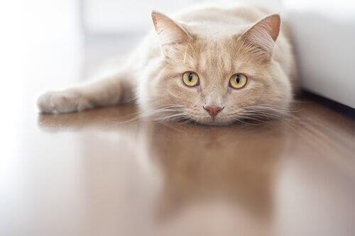 Gatto rosso sdraiato sul pavimento