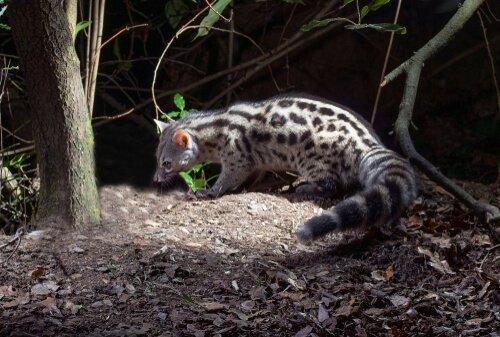 Genetta comune: cacciatrice solitaria simile al gatto