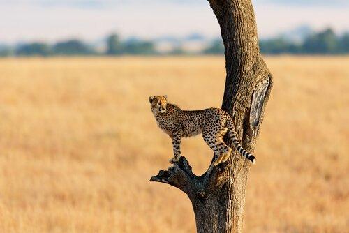 Ghepardo nella savana