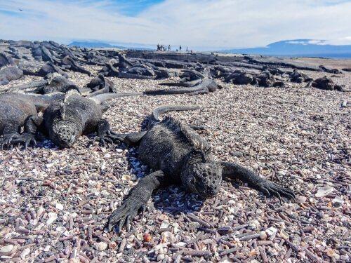 Un'iguana marina sulla spiaggia