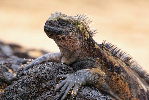 L'iguana marina regina delle Galapagos