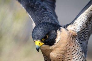 Occhi di falco