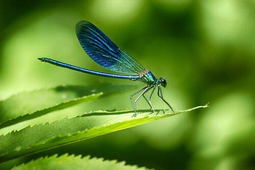 libellula posata su foglia