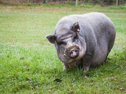 Il maiale vietnamita è dichiarata specie invasiva