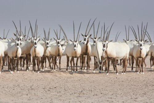 conservazione dell'orice d'arabia