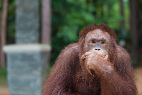 Gli oranghi sono intelligenti come un bambino di 8 anni