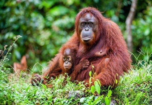 orango con cucciolo nella foresta