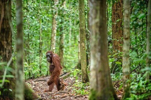 Perché la sopravvivenza dell'orango del Borneo è a rischio