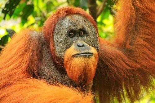 L'orango di Sumatra: caratteristiche fisiche