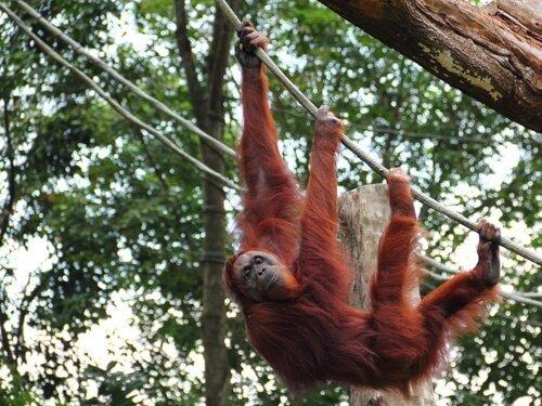 Orangutan di Sumatra