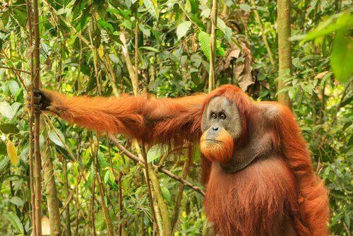 Un esemplare di orangutan nel bosco