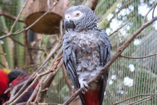 Il pappagallo cenerino come animale domestico