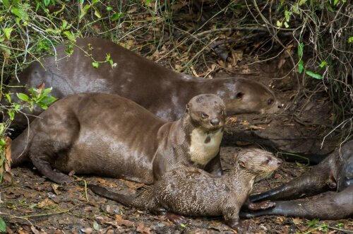 Riproduzione lontra