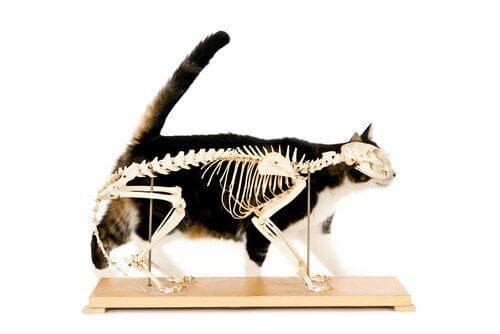il gatto e il suo scheletro