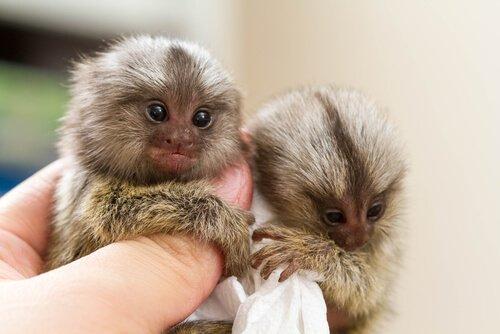 Due scimmie con nanismo