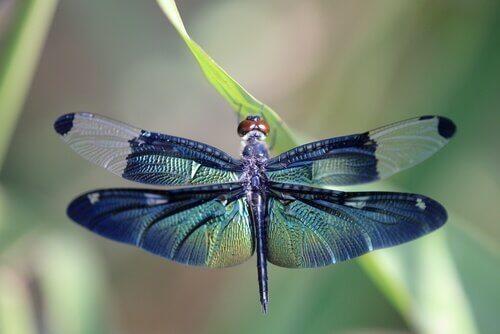 Scopriamo insieme la metamorfosi della libellula