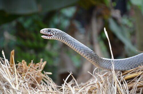 Serpenti e organo vomeronasale