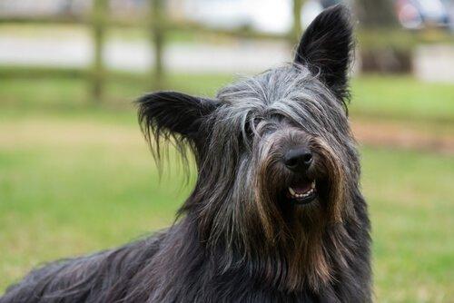 Skye terrier cane scozzese