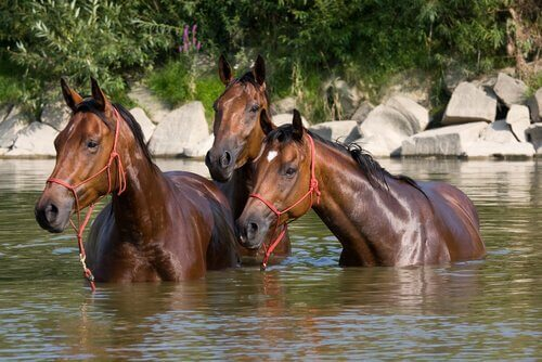 Tre cavalli in acqua