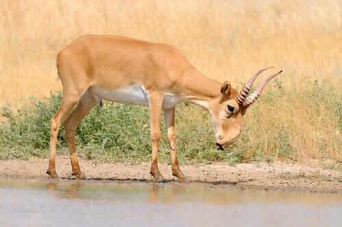 antilope saiga fiume