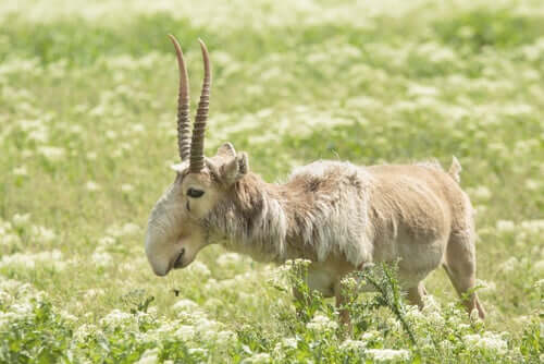 antilope saiga prato