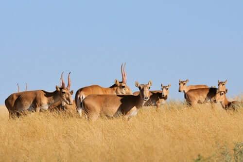 Antilope saiga, una specie messa a rischio dal surriscaldamento globale