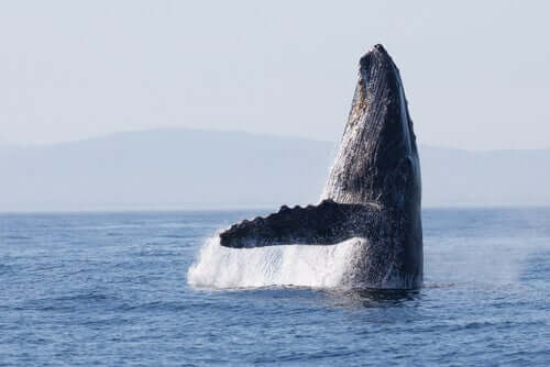 Balena fuori dall'acqua.