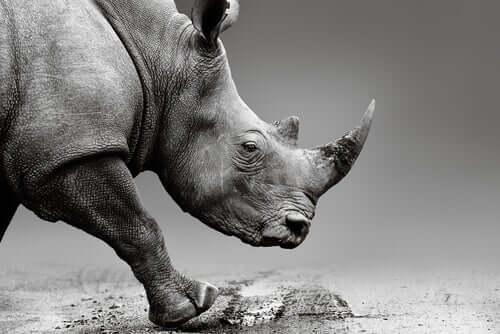 Corno di rinoceronte al veleno per salvare la specie