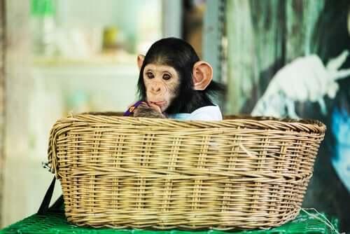 Cucciolo di scimmia in una cesta