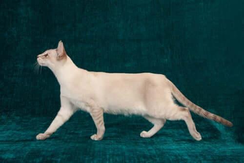 Displasia dell'anca nei gatti: tutto quello che dovete sapere