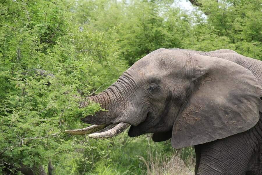 Elefante che mangia